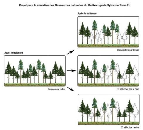 Illustrations pour le guide sylvicole. Ministère des Forêts, de la Faune et des Parcs, Québec